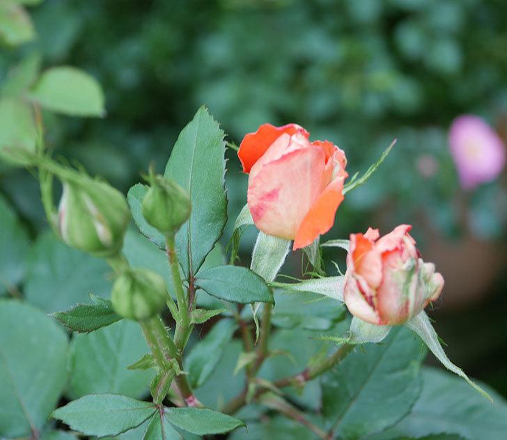 ローラ(木立バラ)の花が房で咲いた。2019年-12.jpg