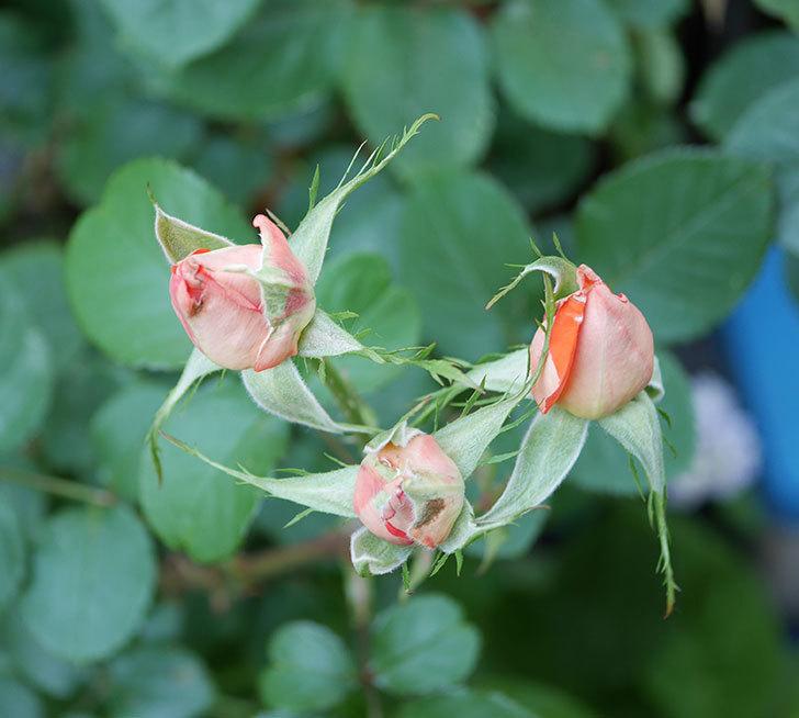 ローラ(木立バラ)の花が房で咲いた。2019年-13.jpg
