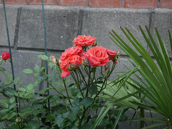 ローラ(木立バラ)の花が房で咲いた。2019年-15.jpg