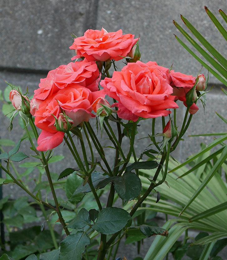 ローラ(木立バラ)の花が房で咲いた。2019年-16.jpg