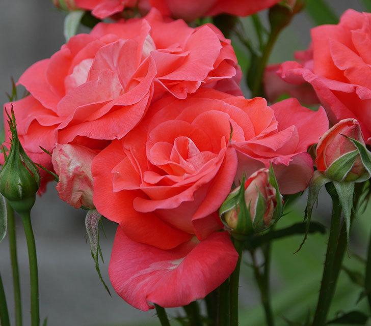 ローラ(木立バラ)の花が房で咲いた。2019年-2.jpg