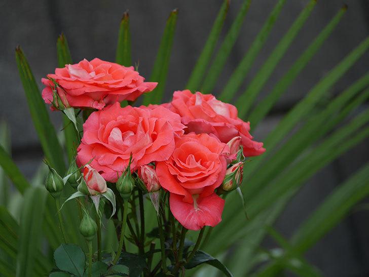 ローラ(木立バラ)の花が房で咲いた。2019年-3.jpg