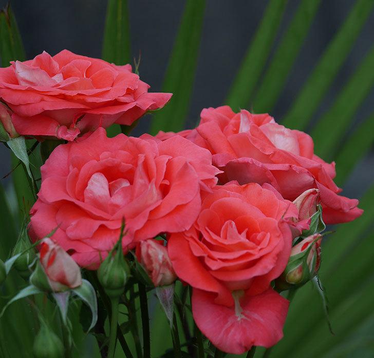 ローラ(木立バラ)の花が房で咲いた。2019年-4.jpg