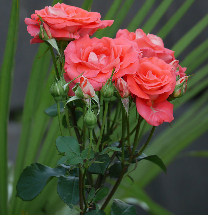 ローラ(木立バラ)の花が房で咲いた。2019年-5.jpg
