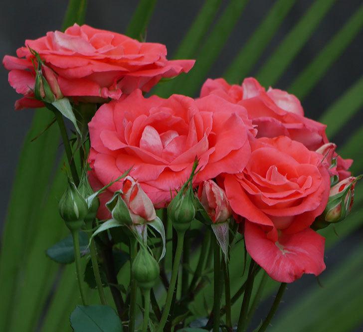 ローラ(木立バラ)の花が房で咲いた。2019年-6.jpg