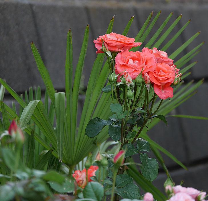 ローラ(木立バラ)の花が房で咲いた。2019年-7.jpg