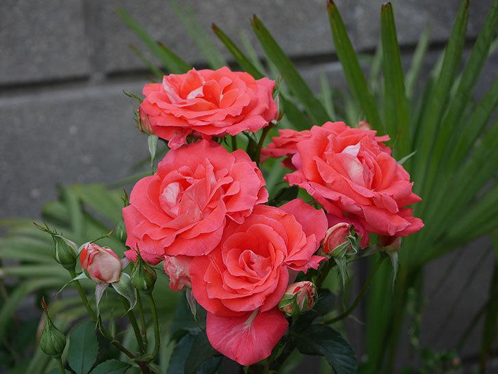 ローラ(木立バラ)の花が房で咲いた。2019年-8.jpg