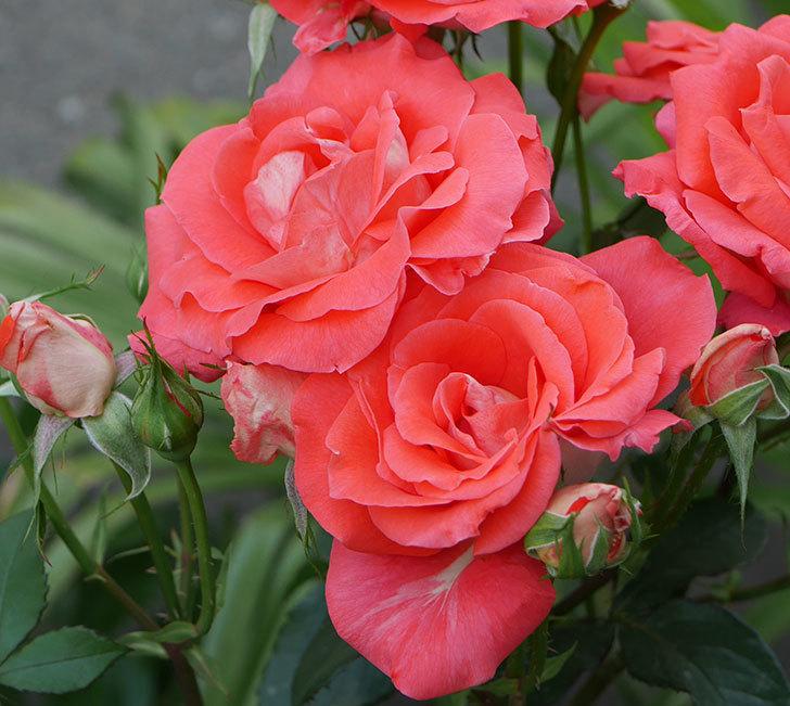 ローラ(木立バラ)の花が房で咲いた。2019年-9.jpg