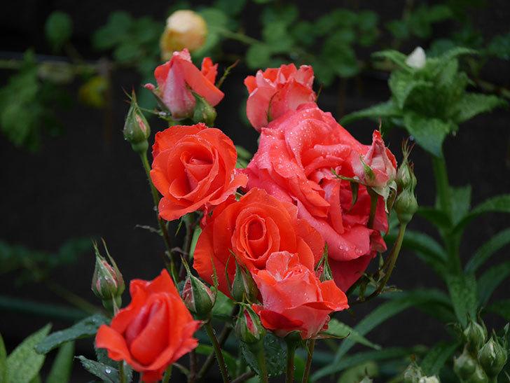 ローラ(木立バラ)の花が房で咲いた。2020年-001.jpg