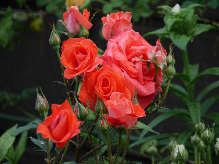 ローラ(木立バラ)の花が房で咲いた。2020年-002.jpg