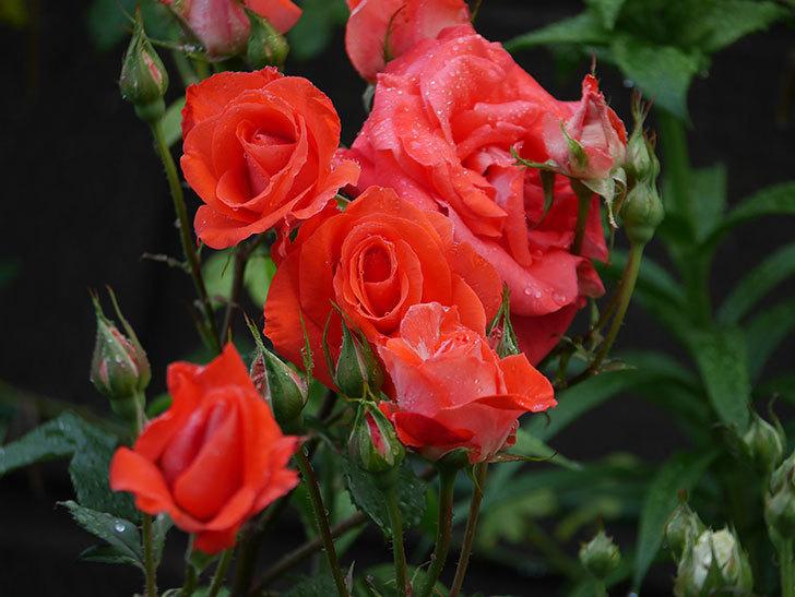 ローラ(木立バラ)の花が房で咲いた。2020年-003.jpg