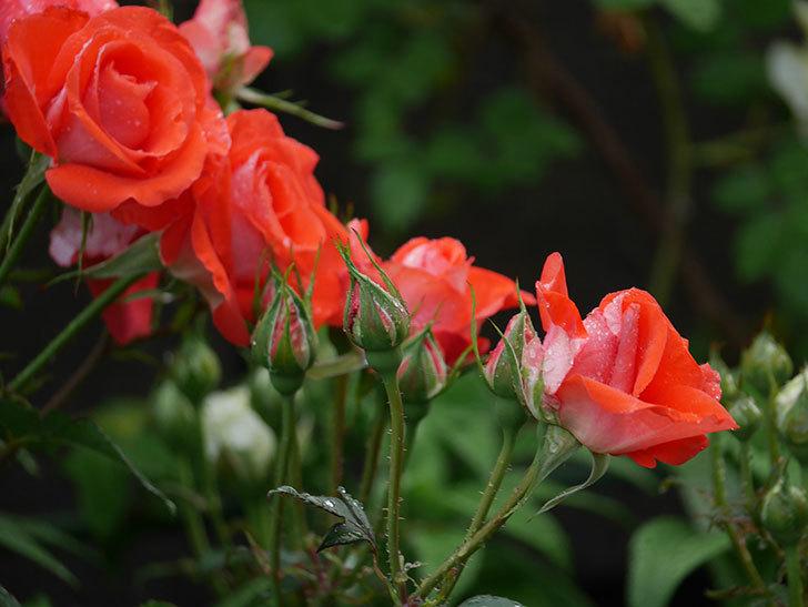 ローラ(木立バラ)の花が房で咲いた。2020年-004.jpg