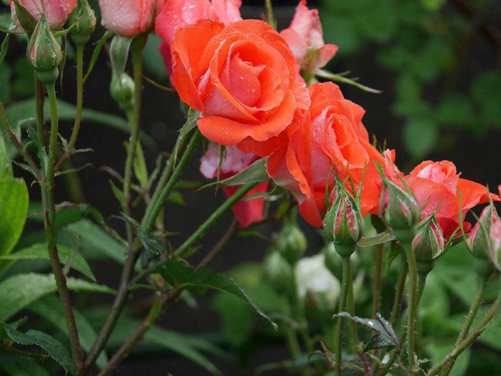 ローラ(木立バラ)の花が房で咲いた。2020年-005.jpg