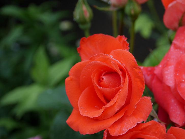 ローラ(木立バラ)の花が房で咲いた。2020年-011.jpg