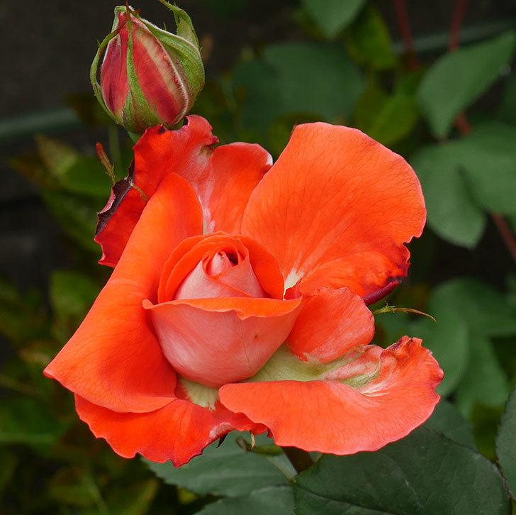 ローラ(木立バラ)の花が開いて来た。2020年-1.jpg