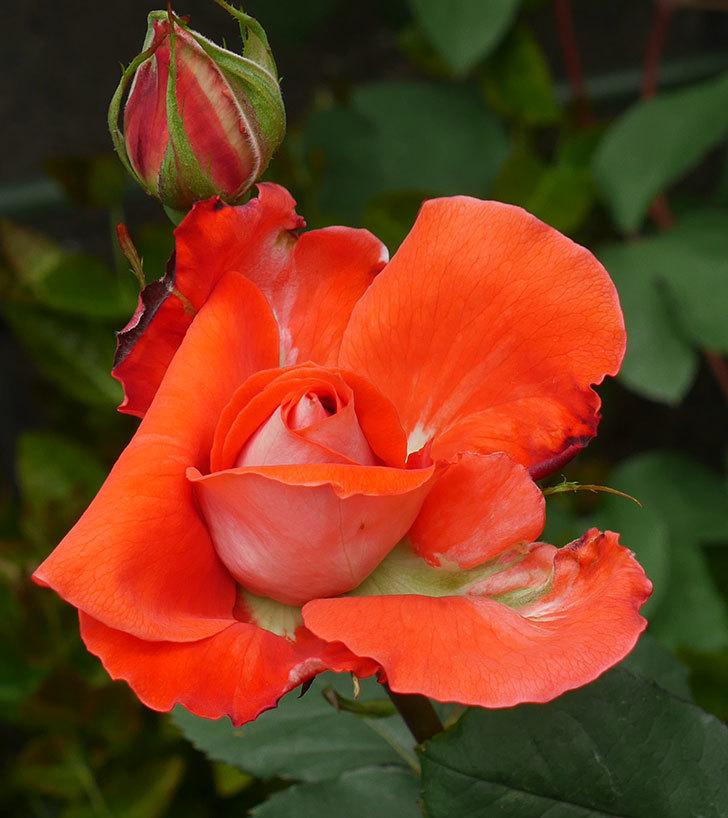 ローラ(木立バラ)の花が開いて来た。2020年-2.jpg