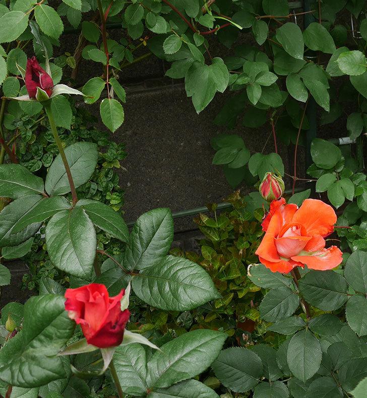 ローラ(木立バラ)の花が開いて来た。2020年-3.jpg