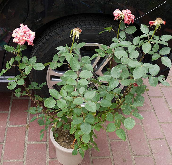 ローラ(木立バラ)の花の終わった開花株が1,500円だったので買って来た。2016年-1.jpg