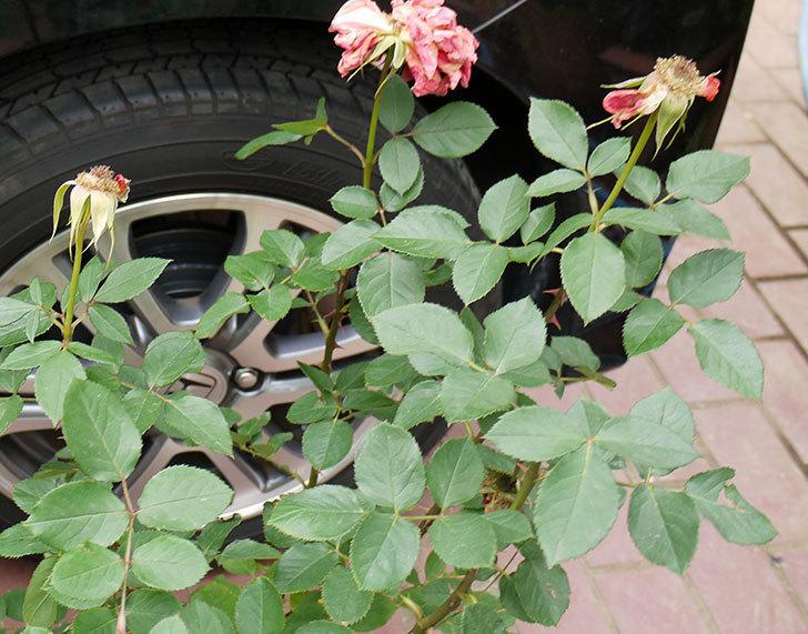 ローラ(木立バラ)の花の終わった開花株が1,500円だったので買って来た。2016年-2.jpg