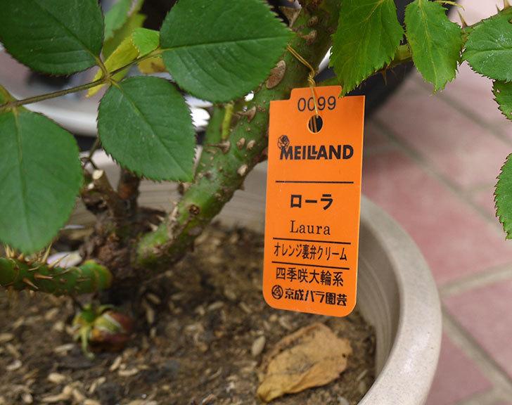 ローラ(木立バラ)の花の終わった開花株が1,500円だったので買って来た。2016年-4.jpg
