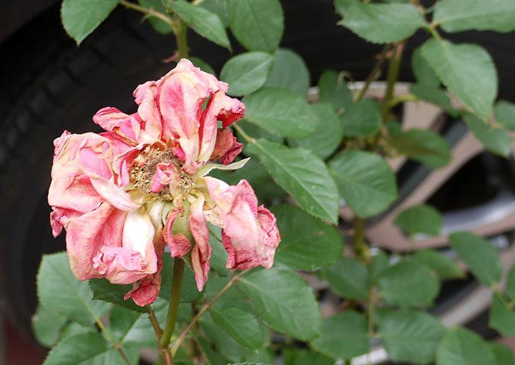 ローラ(木立バラ)の花の終わった開花株が1,500円だったので買って来た。2016年-6.jpg