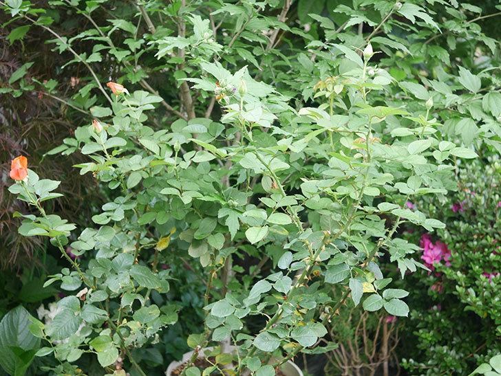 ローラ(Laura)の2番花がまた咲いた。木立バラ。2020年-001.jpg