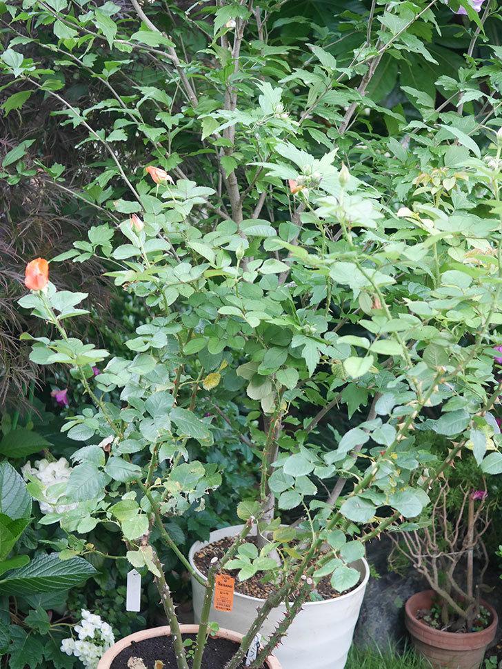 ローラ(Laura)の2番花がまた咲いた。木立バラ。2020年-002.jpg