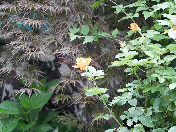 ローラ(Laura)の2番花がまた咲いた。木立バラ。2020年-008.jpg