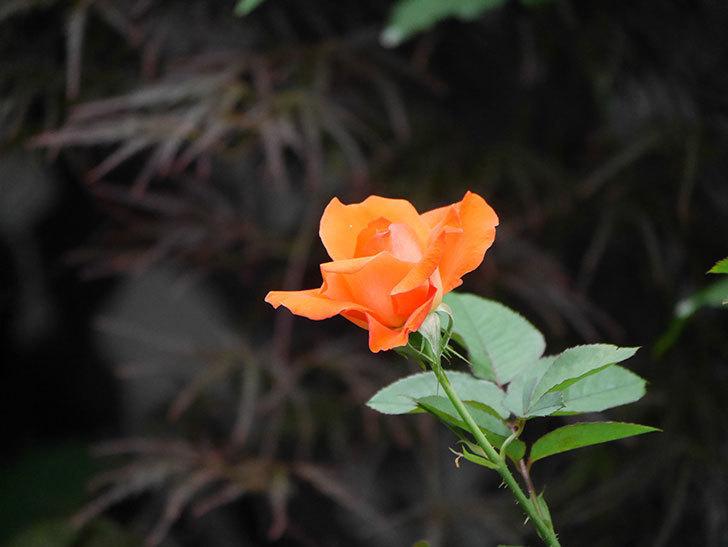 ローラ(Laura)の2番花がまた咲いた。木立バラ。2020年-009.jpg