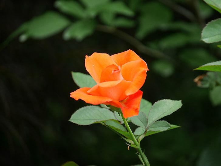 ローラ(Laura)の2番花がまた咲いた。木立バラ。2020年-011.jpg