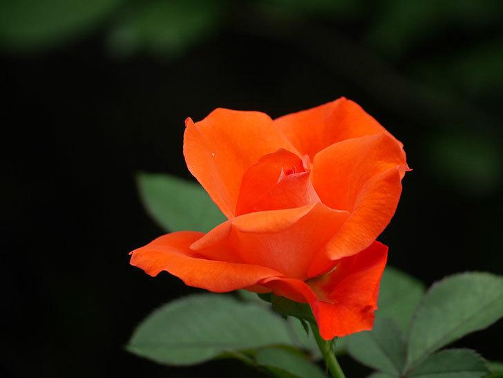 ローラ(Laura)の2番花がまた咲いた。木立バラ。2020年-012.jpg