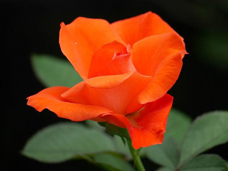 ローラ(Laura)の2番花がまた咲いた。木立バラ。2020年-014.jpg