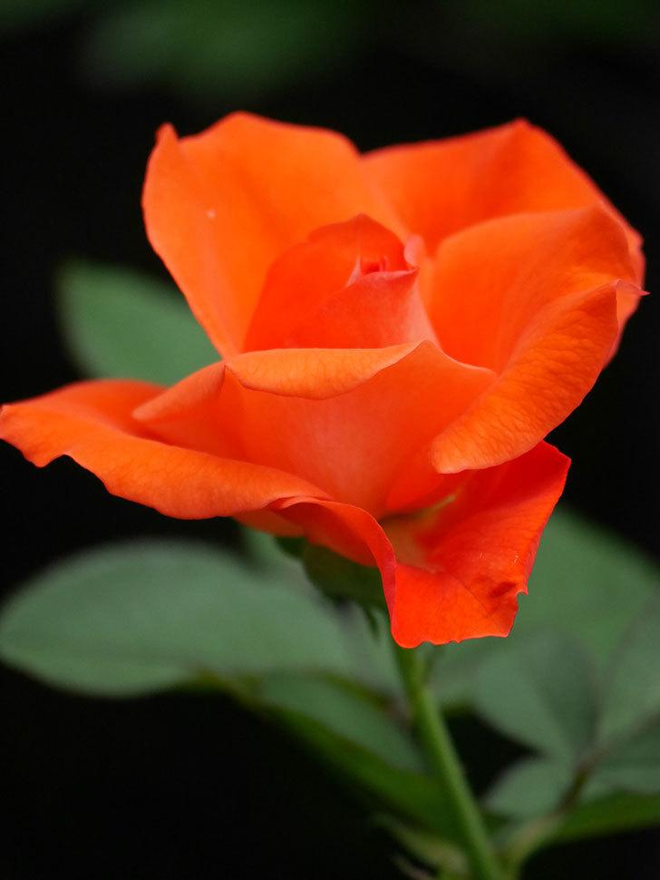 ローラ(Laura)の2番花がまた咲いた。木立バラ。2020年-015.jpg