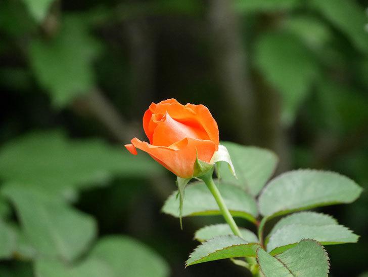 ローラ(Laura)の2番花がまた咲いた。木立バラ。2020年-016.jpg
