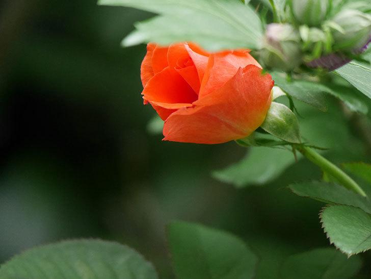 ローラ(Laura)の2番花がまた咲いた。木立バラ。2020年-017.jpg