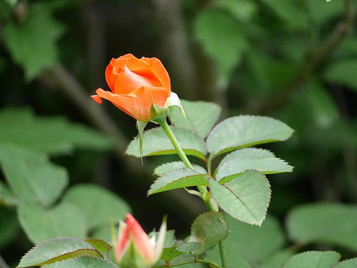 ローラ(Laura)の2番花がまた咲いた。木立バラ。2020年-018.jpg