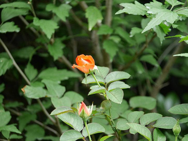 ローラ(Laura)の2番花がまた咲いた。木立バラ。2020年-019.jpg