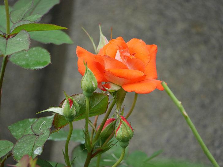 ローラ(Laura)の2番花が咲いた。木立バラ。2020年-001.jpg