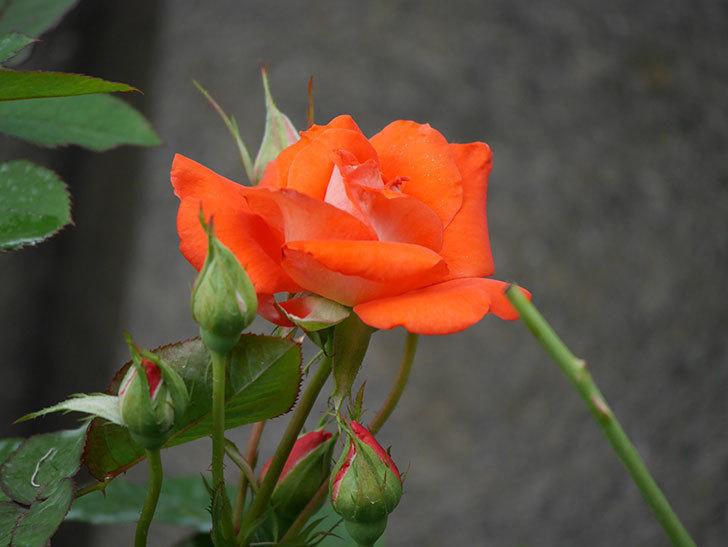 ローラ(Laura)の2番花が咲いた。木立バラ。2020年-002.jpg