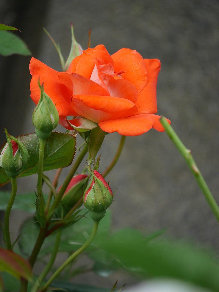 ローラ(Laura)の2番花が咲いた。木立バラ。2020年-003.jpg