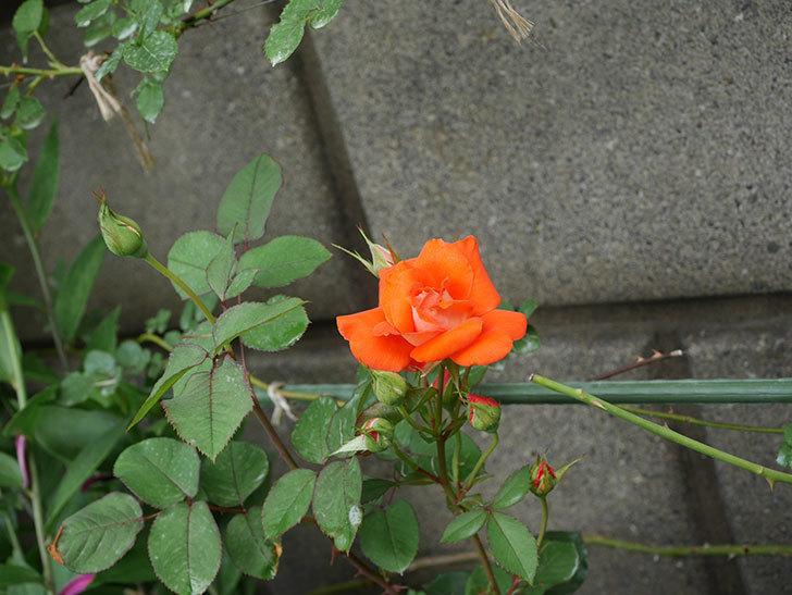 ローラ(Laura)の2番花が咲いた。木立バラ。2020年-005.jpg