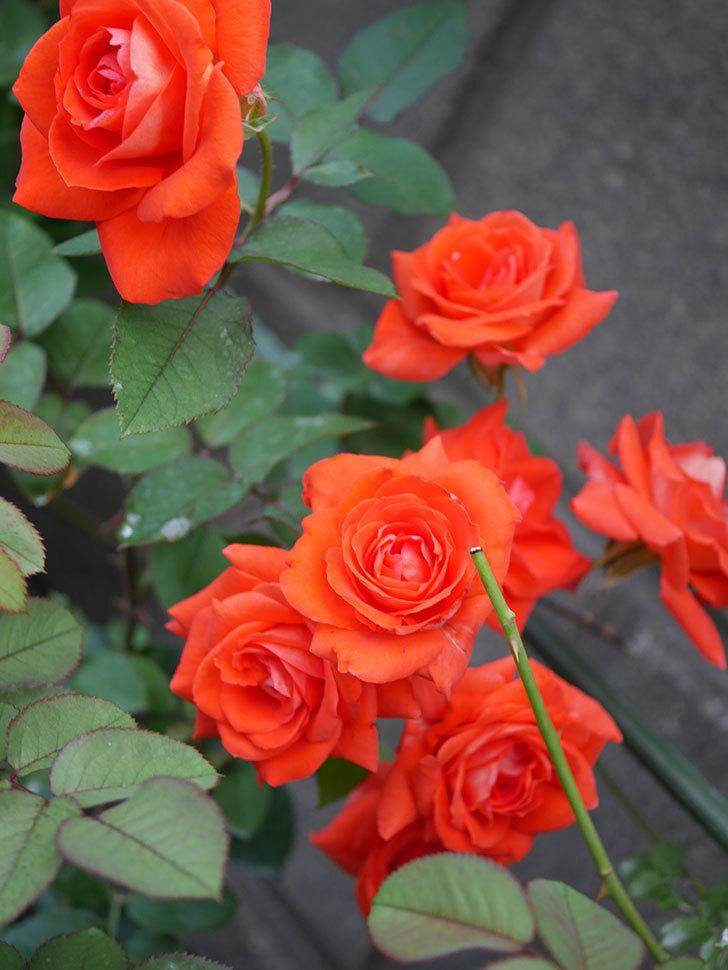 ローラ(Laura)の2番花が増えてきた。木立バラ。2020年-001.jpg