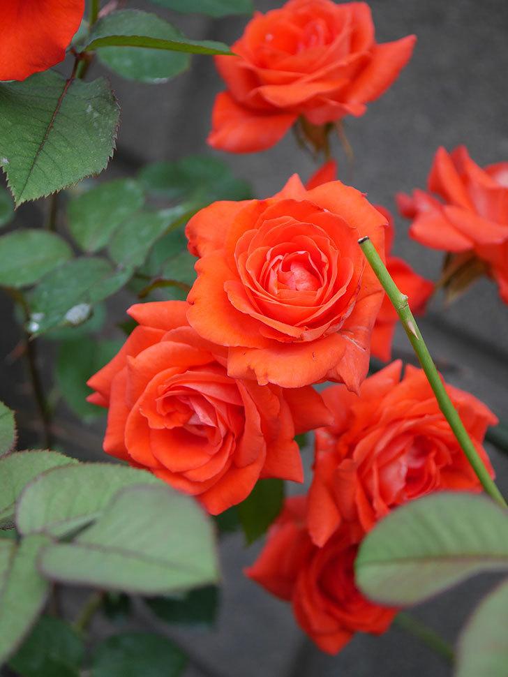 ローラ(Laura)の2番花が増えてきた。木立バラ。2020年-002.jpg