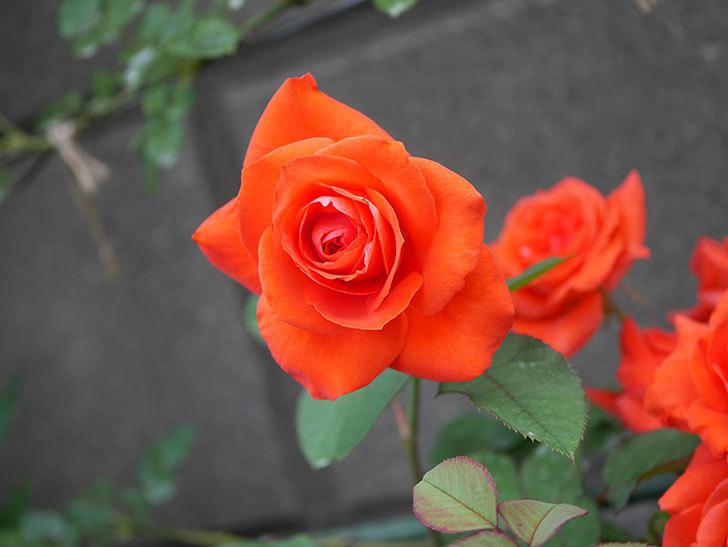 ローラ(Laura)の2番花が増えてきた。木立バラ。2020年-003.jpg