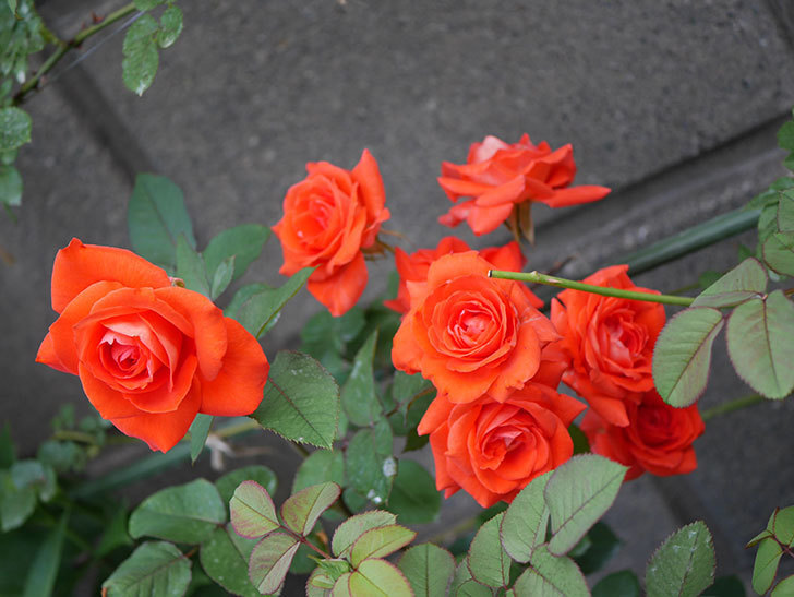 ローラ(Laura)の2番花が増えてきた。木立バラ。2020年-004.jpg