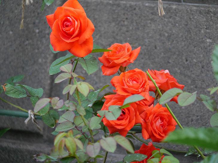 ローラ(Laura)の2番花が増えてきた。木立バラ。2020年-005.jpg