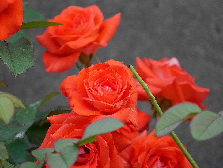 ローラ(Laura)の2番花が増えてきた。木立バラ。2020年-006.jpg