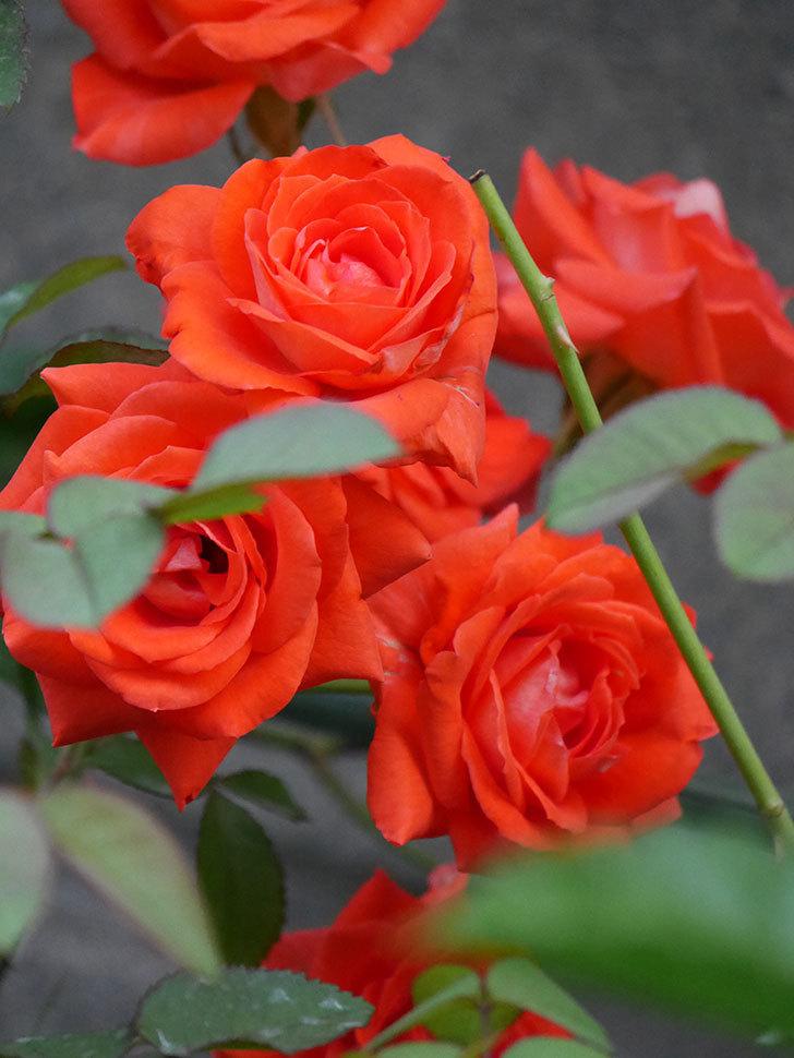 ローラ(Laura)の2番花が増えてきた。木立バラ。2020年-007.jpg