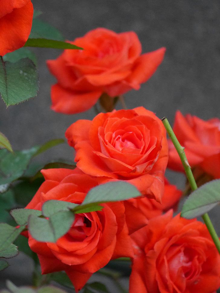 ローラ(Laura)の2番花が増えてきた。木立バラ。2020年-008.jpg