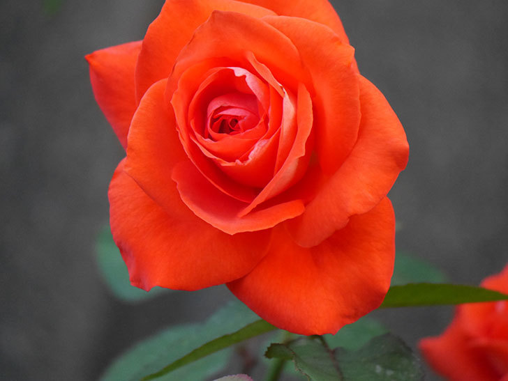 ローラ(Laura)の2番花が増えてきた。木立バラ。2020年-010.jpg